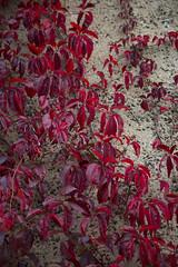Virginia creeper five-leaved Parthenocissus quinquefolia in autumn (Four Seasons Garden) Tags: four seasons garden uk england autumn october 2016 colours foliage red virginia creeper fiveleaved parthenocissus quinquefolia