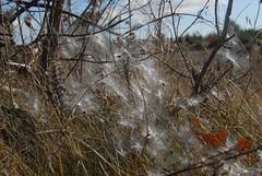 DSG_7383 Milkweed seeds (Greying_Geezer) Tags: 2016 hazelbird ncc natureconservancyofcanada hamiltontownship ort hiking naturereserves commonmilkweed seeds
