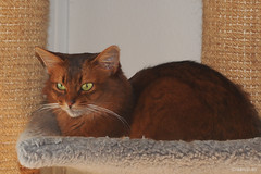 The Grand Duchess (Finn Frode (DK)) Tags: cats watch rest hammock cattree caithlin dusharacathalcaithlin somali somalicat som leneraarup olympus omdem5 denmark animal pet cat indoor