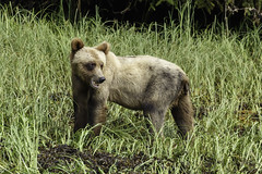 Always aware of surroundings (Alan Vernon.) Tags: brown bear coastal ursus grizzly arctos horribilis young immature three year cub dnature wildlife wild mammal american bears omnivore predator shore