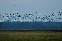 Sandhill Cranes (Moschell) Tags: jasperpulaskifishwildlifearea 2016 autumn birds crane flying in moschell nature sandhill november tamron150600 wildlife sandhillcrane