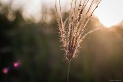 IMG_4318 (Brett Kotch!) Tags: inspiration nature beauty sunset natural light plant outdoors inspire closeup bokeh macro canon photography flickr photooftheday taiwan asia love beautiful amateur de outdoor depth field grass