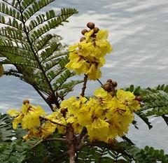 Peltophorum pterocarpum (DushyLarge) Tags: peltophorum peltophorumpterocarpum fabaceae copperpod srilanka