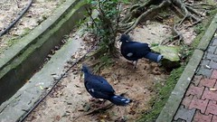 Crowned pigeon courtship dance (Lim SK) Tags: crowned pigeon courtship dance sound