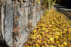 Fall (Mila Araujo @Milaspage) Tags: eyeem golden background copy outdoors day sun sunlight ivy vines cement autumn foliage fallen leaves dried yellow citylife naturalstone stone wall cityscenery autumnal nature longshot