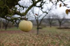 Apfel über Gau-Algesheim