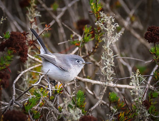 Blue gray Gnatcatcher White Point Nature Reserve Palos Verdes  050