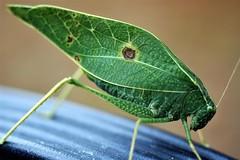 Katydid Old 1979 nikon 55mm micro lens used (mattpitchford) Tags: macro oldlenses oldglass insects bugs katydid