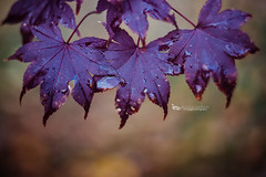 Purple Leaves (The Gaggle Photography   Jessica Nelson) Tags: freelensing freelensed freelens freelensingmacro macrofreelensed helios heliosfreelensed heliosmacro macroleaves autumn maple japanesemaple jessicanelson gagglephotography