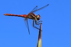 Sympetrum fonscolombii (pablocabezos) Tags: pablocabezos cabezos 2016 pavelcab cabodepalos lamanga cartagena murcia libelula odonato insecto artropodo sympetrum sympetrumfonscolombii dragonfly
