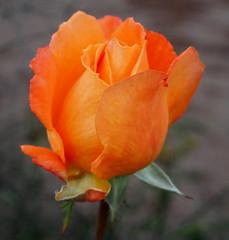 "Rosa ""L'Oréal Trophy"" (tgrauros) Tags: göteborg gothenburg konungariketsverige loréaltrophy suècia sverige sweden trädgårdsföreningen roses gardensocietyofgothenburg"