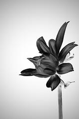 Dahlia Bud, monochrome negative (ScarletBlack) Tags: negative dahlia monocrhome blackandwhite flower flowerbud