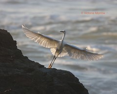 Snowy egret finds a perch (Victoria Morrow) Tags: droh dailyrayofhope