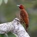 Cinnamon Woodpecker, Celeus loricatus