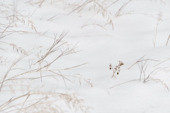 'One of a Kind' (Canadapt) Tags: snow winter grass flower graphic minimal keefer canadapt