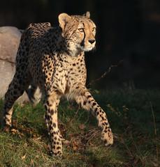 cheetah Beekse Bergen JN6A4801 (j.a.kok) Tags: cheetah jachtluipaard acinonyxjubatus acinonyxjubates beeksebergen mammal zoogdier predator afrika africa