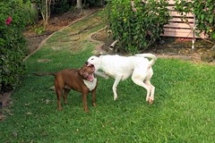 playing rough (BarryFackler) Tags: dogs arthur mera companions animals creatures rescuedogs canines pets mixedbreed life playing nip bite play outdoor captaincook yard grass southkona frolic captaincookhawaii tropical frontyard captaincookhi cookslanding barryfackler kona hawaiiisland bigisland sandwichislands polynesia barronfackler 2016 hawaii hawaiicounty hawaiianislands westhawaii teeth fangs paws