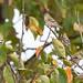 DSC_0403.jpg American Goldfinch, UCSC Farm