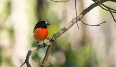 Scarlet Robin (erdcocyx95) Tags: beautifulbird nature wildlifephotography wildlife birdphotographs bestbirdshot birdphotography birds