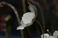 2015 06 05_d7100_0052 (swedgatch (Missing my Father)) Tags: swedgatch sweden spring stockholm nikon nature d7100 tamron tiny things naked light life love little lens tele tullip take 90mm macro color colors capture photography photograph photo photographs photos photographer perspective prime beautiful by beauty dof flowers flower art artistic angle