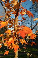SAM_1847 (falcon170ct) Tags: autumn fall leaves redoak