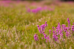 Brownsea Heather (sam_hodges) Tags: brownsea island heather plants summer scenery flowers sam hodges canon 7d
