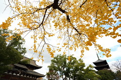 Ginkgo with the old temple (Teruhide Tomori) Tags: toji temple kyoto japan autumn pagoda tree ginkgo architecture building construction 京都 東寺 日本 秋 イチョウ 五重塔