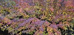 Spyrea Coloration (Harry Lipson) Tags: spyrea leaves shrub shrubbery plant nature autumnal harrylipson harrylipsoniii