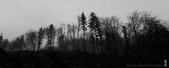misty morning (alamond) Tags: morning mist misty fogg forest wood serene bw blackandwhite monochrome tree sky canon 7d markii mkii llens ef 1740 f4 l usm alamond brane zalar