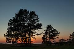 Serene (Jakob Arnholtz) Tags: ordrupns arnholtz denmark danmark solnedgang sunset spring forr silhouette fyrretr