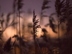 Reeds (André Brandt) Tags: ifttt 500px reeds nature sunset winter sea sweden stockholm plant flower fauna colorful colors contrast silhouette