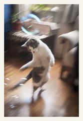 Gaia chasing bubbles (Nico Cascante) Tags: cat gato animal mascotas burbujas bubbles ecuador juego felino