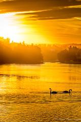 swans at sunset (reiernilsen) Tags: swans bird kalvya brum sandvika norway reiernilsen 5dmkiii 135mm