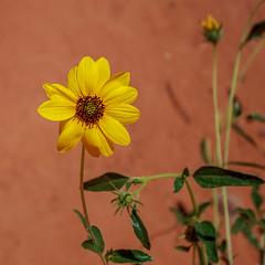 Dry Fork Slot Trail nei pressi di Spooky Slot Canyon - Wild Sunflower (adzamba) Tags: 2016 escalante utah unitedstates usa canyon desert deserto dryforkslottrail fioregiallo girasole holeintherockrd slot sunflower yellowflower