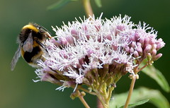 When the living was easy. (pstone646) Tags: bee insect flower wildlife fauna flora closeup kent animal summertime