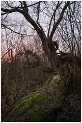 willow (Rainer Schlepphorst) Tags: germany brandenburg tree weide sony sonynex6 walimex 1421 baum nature gestrüpp moos salix l