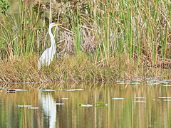 Great Egret reflection 20161205 (Kenneth Cole Schneider) Tags: florida miramar westbrowardwca