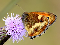 Butterfly and thistle flower. (pstone646) Tags: butterfly nature animal wildlife closeup kent insect fauna