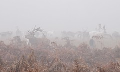 Barely visible (ildibal) Tags: fog mist deer bull haze grey gray winter autumn fall