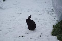 Zuzu (Tjflex2) Tags: rabbit bunny lapin conjo lagamorph