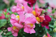 A Rainbow Of Colour (bigbrowneyez) Tags: flowers colours beautiful fiori belli bellissimi snapdragons fresh fancy pretty colourful sweet bokeh dof curvy arainbowofcolour mygardin miogiardino charming details colori fragments pastels