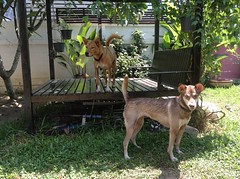 Mocha and Mochi (maxwell house) Tags: dogs puppies mocha mochi