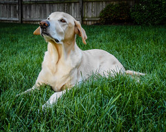 Cody - My Yellow Labrador Retriever (mbell1975) Tags: dog pet yellow virginia lab labrador unitedstates retriever cody fairfax my