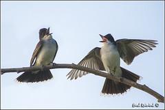 "Eastern Kingbird (130709-1071) (Earl Reinink) Tags: bird nature birds photography earl kingbird ""bird photography"" ""nature ""earl flight"" kingbird"" ""nesting reinink"""