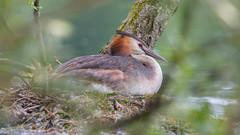 Grebe on nest (scyrene) Tags: park orange brown lake tree green bird water beige nest stanleypark grebe greatcrestedgrebe