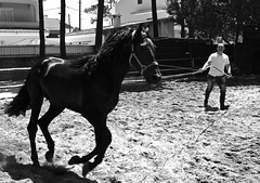 Black horse training