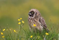 Short-eared Owl (Brandugla) 38 (sindri_skulason) Tags: shortearedowl brandugla