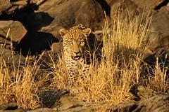 Leopard - Namibia (Ami 211) Tags: africa leopard bigcat namibia panthera felidae pantherapardus africanwildlife pantherinae