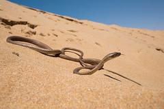 Serpiente ltigo (yo DADA) Tags: morocco desierto herp deserto reptil serpiente ofidio ltigo