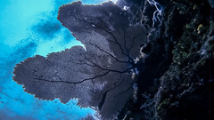 Coral Abanico (alejocock) Tags: ocean sea nature fauna island mar colombia peces diving submarine buceo oceano caribe caribean seaflower submarino corales subaquatic parquenacionalnatural sanandresisla subacuatico